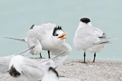 Tern - Royal - juvenile begging - Blind Pass - Sanibel Island, FL