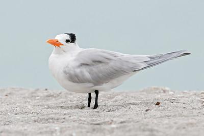 Tern - Royal - Blind Pass - Sanibel Island, FL - 01