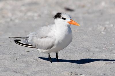Tern - Royal - Bowman's Beach - Sanibel Island, FL - 01