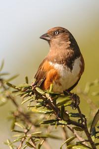 Towhee - Eastern - female - Bald Point State Park - FL