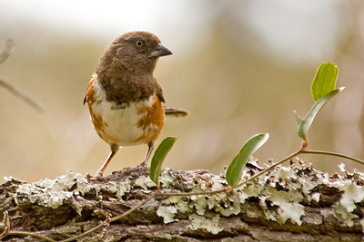 Towhee - Eastern - female - St. Vincent Island - FL