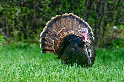 Turkey - Wild - male - Vadnais Heights MN - 03