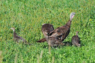 Turkey - Wild - family - Itasca County Road 266 - MN