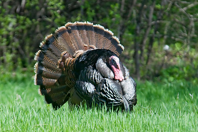 Turkey - Wild - male - Vadnais Heights MN - 02
