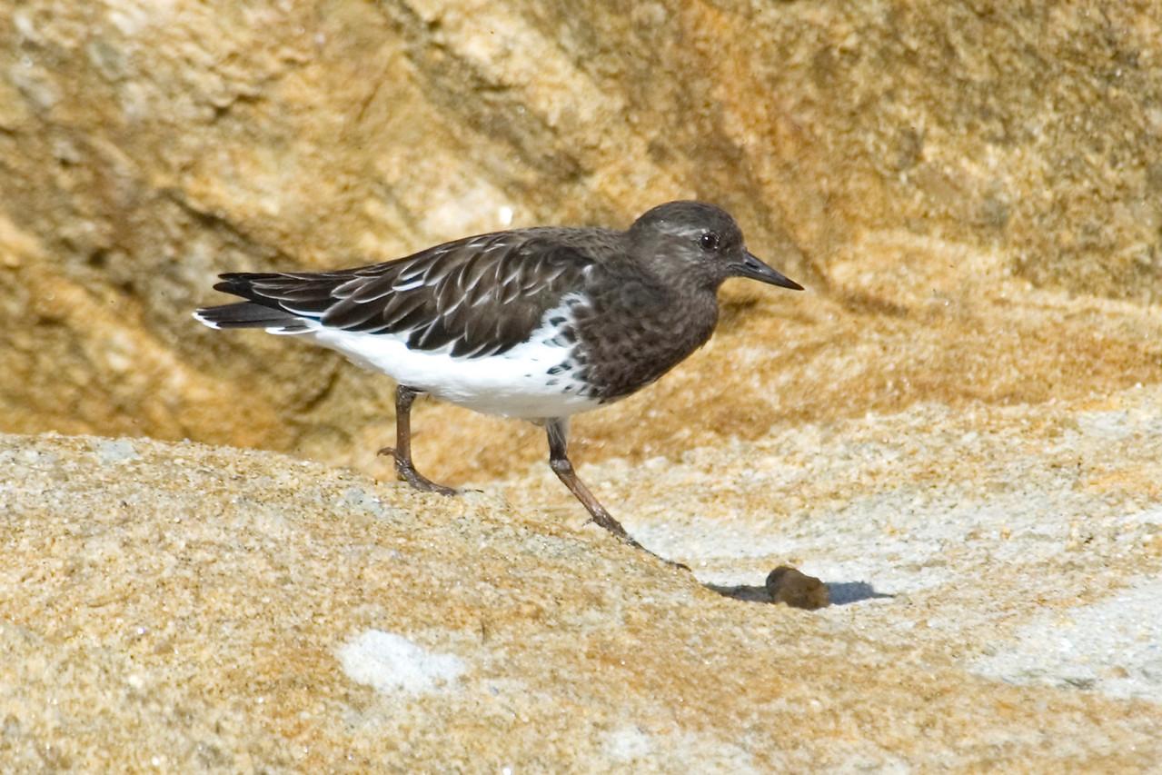 Turnstone - Black - Monterey Peninsula, CA