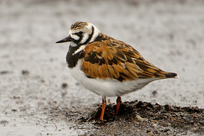 Turnstone - Ruddy - Park Point - Duluth, MN - 03