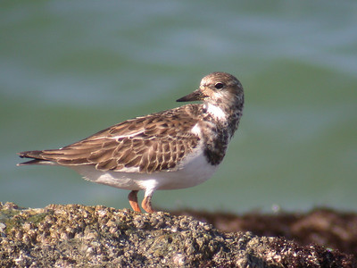 Turnstone - Ruddy - Sanibel Island, FL - 01