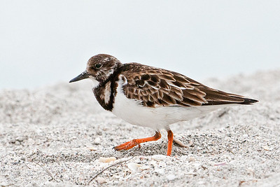 Turnstone - Ruddy - Ding Darling NWR - Sanibel Island, FL