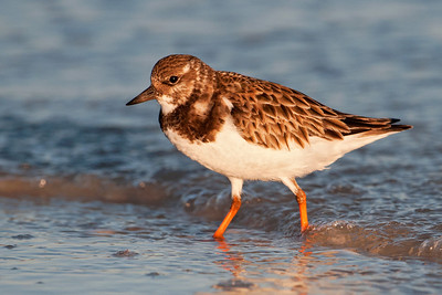 Turnstone - Ruddy - Lighthouse Point - Sanibel Island, FL - 02