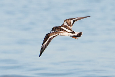 Turnstone - Ruddy - Lighthouse Point - Sanibel Island, FL - 01