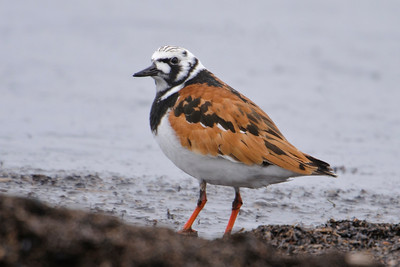 Turnstone - Ruddy - Park Point - Duluth, MN - 02