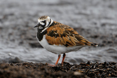 Turnstone - Ruddy - Park Point - Duluth, MN - 01