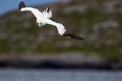 Sule, Gannet, Outer Hebrides (De Ydre Hebrider)