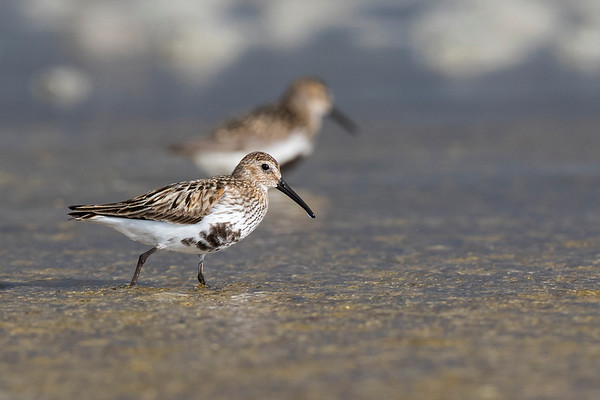Dunlins wading in gold