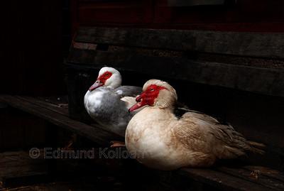 A pair of Muscovi Ducks at Hackney City Farm.