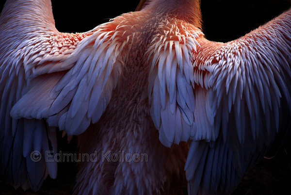 Pelican drying its wings in the sun after some rain.  Nikon D80, 135mm lens
