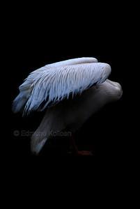 Eastern White Pelican, London Zoo.. Nikon D80, 135mm lens
