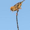 Golden-headed Cisticola (Cisticola exilis)
