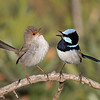 Superb Fairy-wren pair (Malurus cyaneus)