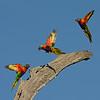 Rainbow Lorikeets (Trichoglossus haematodus)