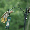 Northern Flicker (female - male)