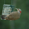 Northern Flicker (female)