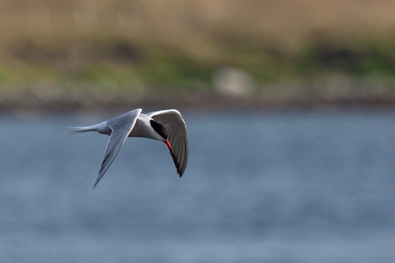Common Tern (Sterna hirundo)