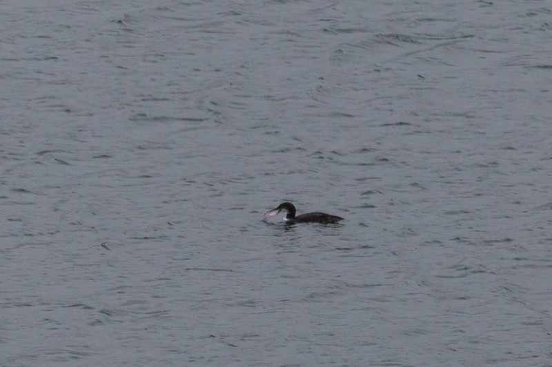 Great northern diver (Gavia immer) - in winter plumage