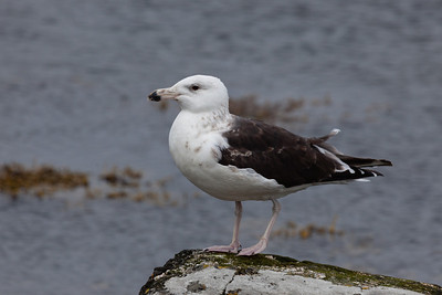 Great black-backed gull (Larus marinus) - juvenile