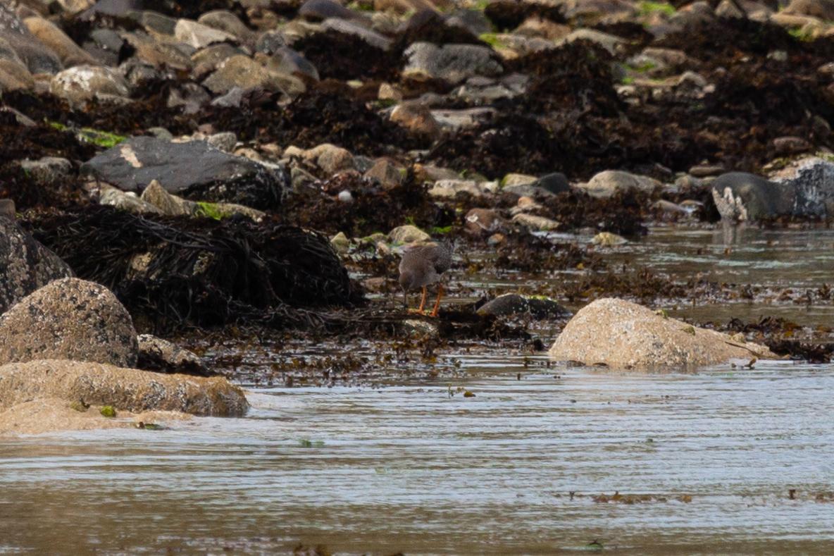 Redshank (Tringa totanus)