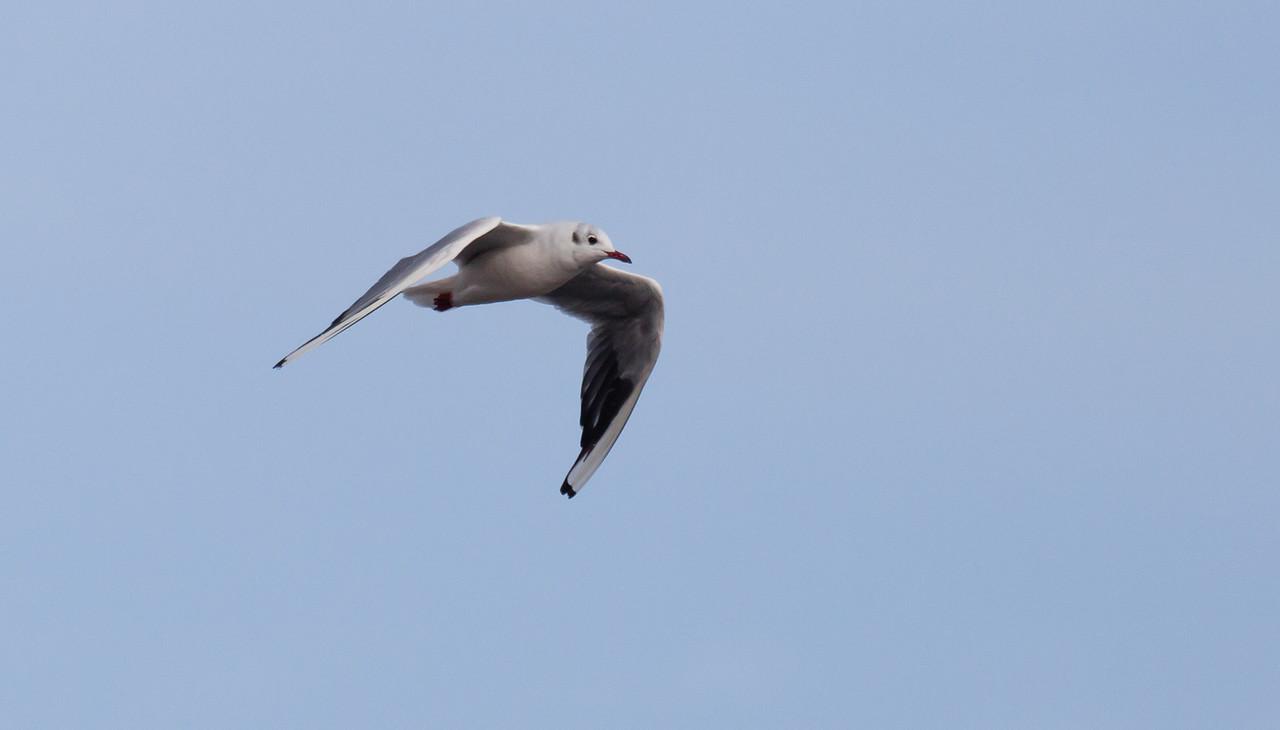 Black-headed gull (Chroicocephalus ridibundus) in winter plumage