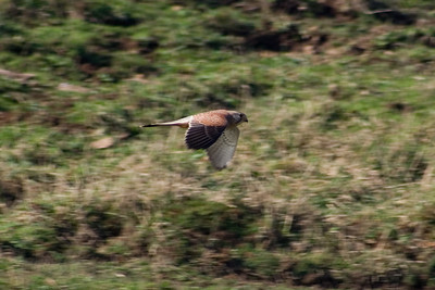 Male Kestrel (Falco tinnunculus) flying past me. Near the Lizard Point, Cornwall, England.