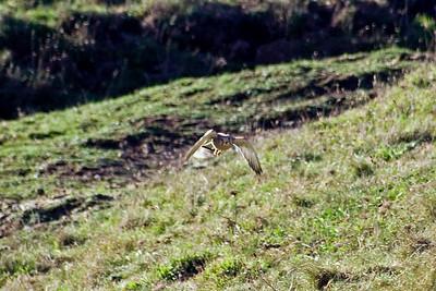 Male Kestrel (Falco tinnunculus) coming straight at me. Near the Lizard Point, Cornwall, England.