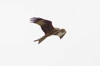 _MG_2551  Red Kite