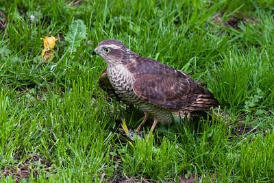 Sparrowhawk (Accipiter nisus) - female - with prey