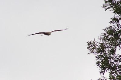 _MG_2529 Red Kite