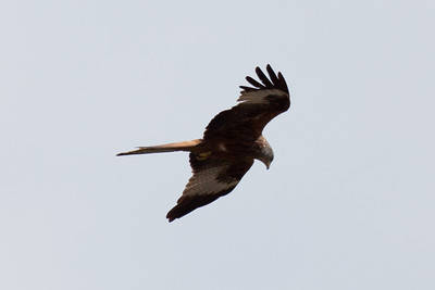 5Dii-1_1935 Red Kite from Mayhew Crescent