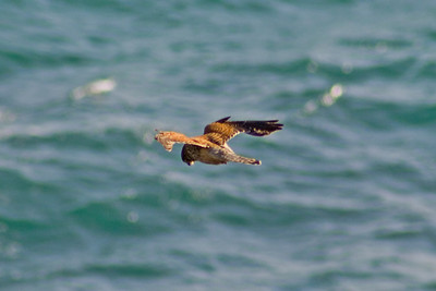 Female Kestrel (Falco tinnunculus) hovering over cliffs. East side of the Lizard Peninsula, Cornwall, England