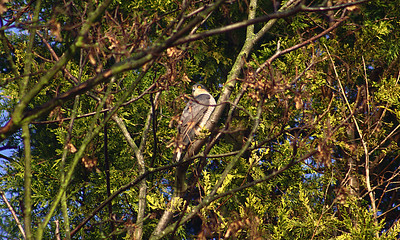 Male Sparrowhawk (Accipiter nisus), High Wycombe