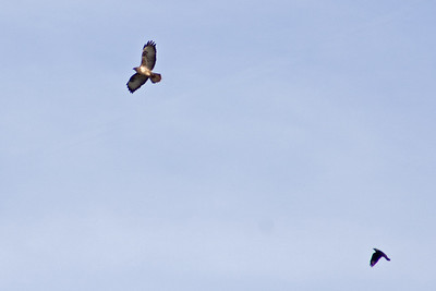 Buzzard (Buteo buteo) being mobbed by Carrion Crow (Corvus corone), near Manaccan, Cornwall, England.