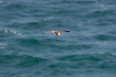 Female Kestrel (Falco tinnunculus) hovering over cliffs. East side of the Lizard Peninsula, Cornwall, England.