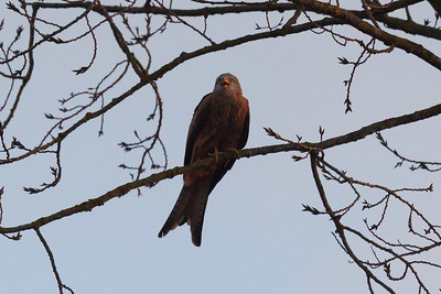 Red kite (Milvus milvus) at Little Marlow