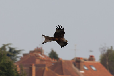 5Dii-1_1874 Red kite, High Wycombe