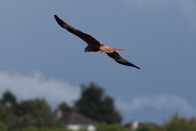 Red Kite, High Wycombe