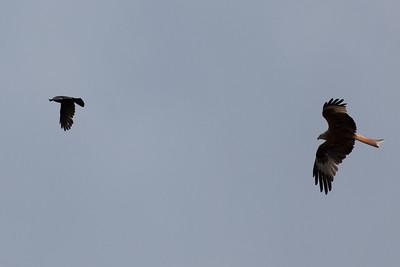 Red kite chasing jackdaw, High Wycombe