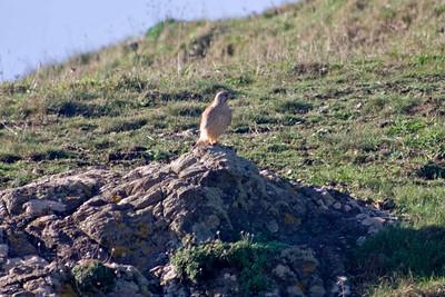 Male Kestrel (Falco tinnunculus). Near the Lizard Point, Cornwall, England.