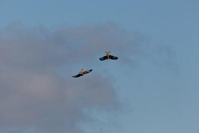 5Dii-1_0813 Red Kite, HW