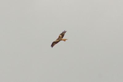 _MG_2536  Red Kite