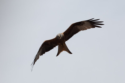 5Dii-1_1941 Red Kite from Mayhew Crescent