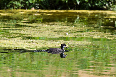 Young coot at Dashwood house, West Wycombe